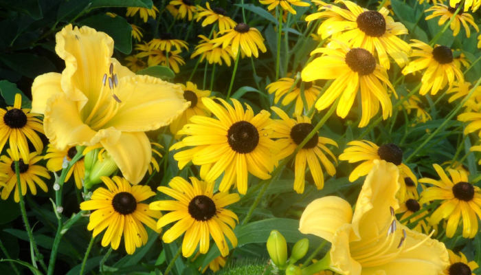 Bright yellow flowers in a garden.